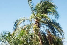 There are two main kinds of palm trees in Kruger - the wild date palm (Phoenix reclinata) and the lala palm (Hyphaene atalensis). The wild date palm is more common in the south of the Park on the banks of rivers and spruits. Primates and birds enjoy the clusters of yellow-brown fruit, while elephants eat the leaves and stems. - Trees in Kruger Park | Kruger National Park | South Africa...