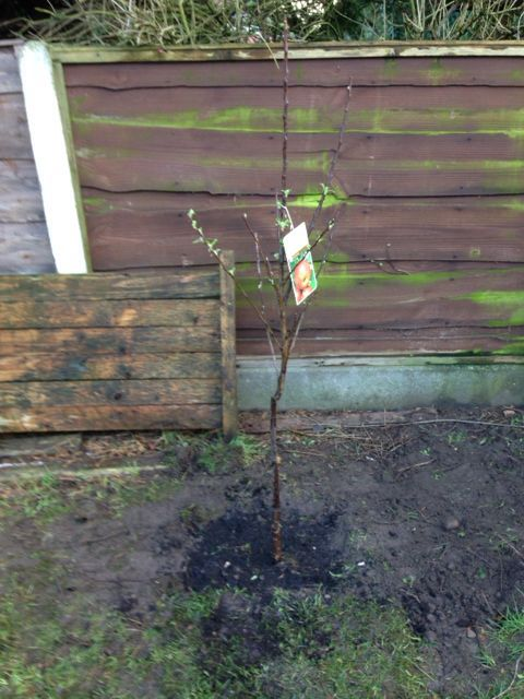 The first fruit addition to TLB 'Elstar' Apple Tree
