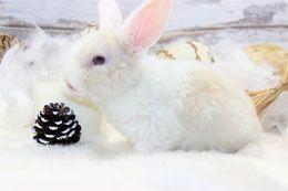 Beliers nains - Elevage Le grand monarque - lapin geant papillon francais et belier nain