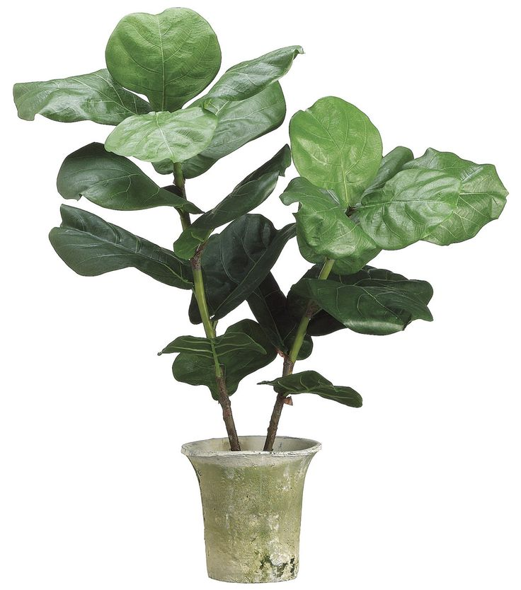 Bloom Room Luxe 32'' Fiddle Plant In Clay Pot - Green