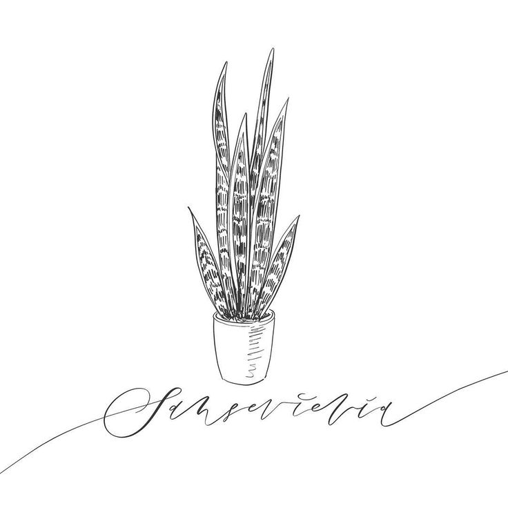 #sansevieria #flowers #moderncalligraphy #floral #floralillustration #flowerlover #floristry #floral #flowerart #kwiaty