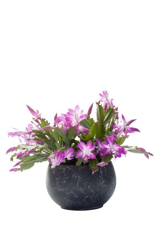 De kerstcactus is Woonplant van November. Deze vetplant, ook bekend als Lidcactus, zit lekker in zijn vel tijdens donkere dagen en laat dat zien door overdadig te bloeien. Makkelijk te onthouden: korte dagen, mooie bloemen.