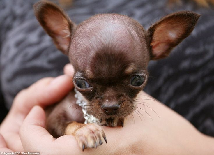 tiny chihuahua milly is the worlds smalle - Biggest Cat In The World Guinness 2012