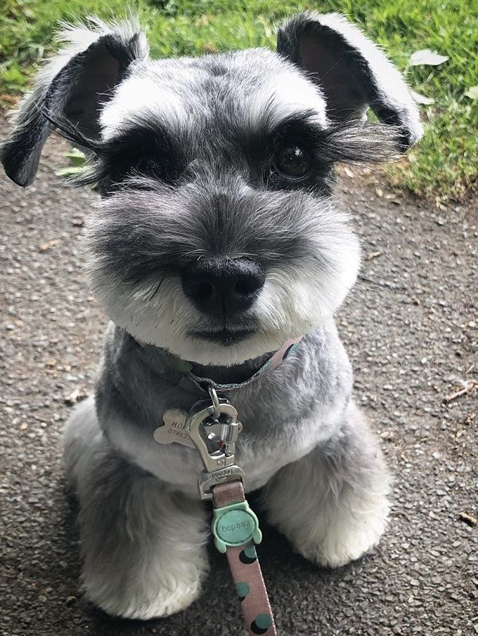 Mini Schnauzer Puppy Haircut Gave It Long Lashes In 2020 Mini Schnauzer Puppies Mini Schnauzer Schnauzer Puppy