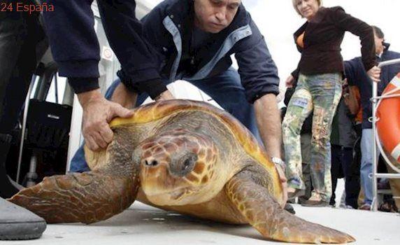 Unos bañistas espantan a una tortuga marina cuando iba a poner huevos en la playa de Torrevieja