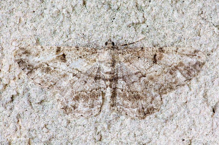 Camouflage: http://tazintosh.com #FocusedOn #Photo #Papillon #Butterfly #Aile #Wing #Boarmie du chène #Phalène du rouvre #Hypomecis roboraria #Great Oak Beauty #Camouflage #Canon EF 180mm f/3.5L Macro USM #Canon EOS 5D Mark II #Mur #Wall #Œil #Eye #Papillon de nuit #Moth #Patte #Paw