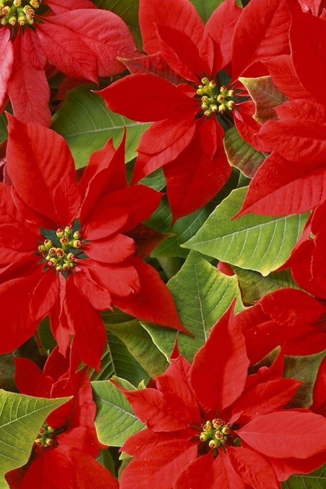 """Poinsettias ... en Argentina la llamamos """"Estrella Federal"""" y es también la flor de Navidad ...."""