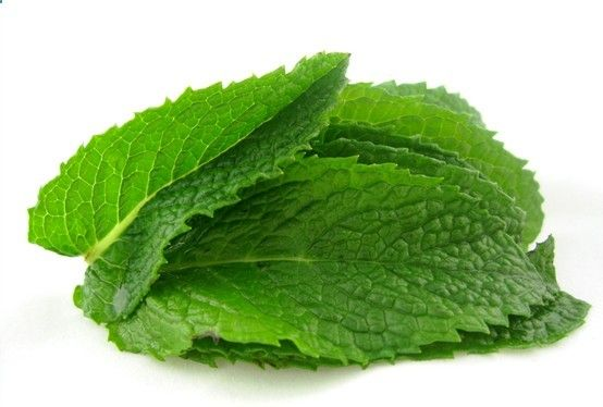 Medicinal Plant Mint - Mint can form creeping root-stocks or upright stems up to two feet high. Mint soothes indigestion and can be used to calm colic in infants.