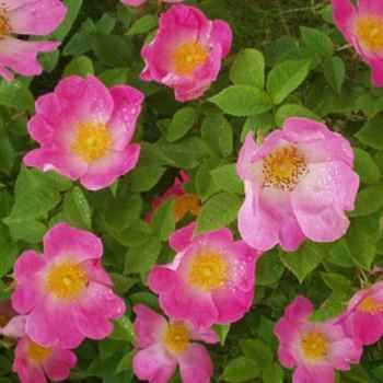 Origin unknown. An exceptional rose. Single flowers of bright pink with paler centres and a large boss of golden stamens produced in Spring. Very fragrant. Can be used as a large shrub or pillar rose. Performs well even in poor soils. 3m x 2.8m.