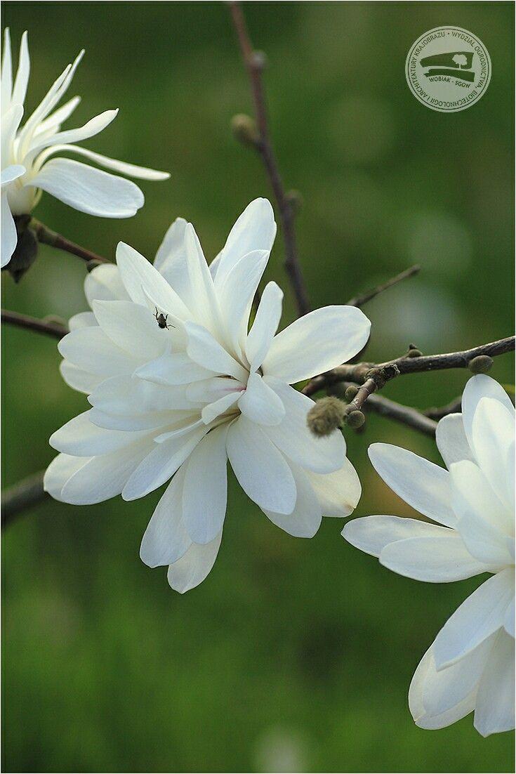 Magnolia x loebneri 'Powder Puff' #KolekcjaMagnolii dr hab. Jana Toneckiego #szklarnieSGGW #budynek35 #magnolie #ogrodnictwo #WOBiAK #SGGW 🏡🌼🌼🌼 #MagnoliaCollection by Dr Jan Tonecki #WULSgreenhouse #building35 #magnolia #magnolias #horticulture #WULS