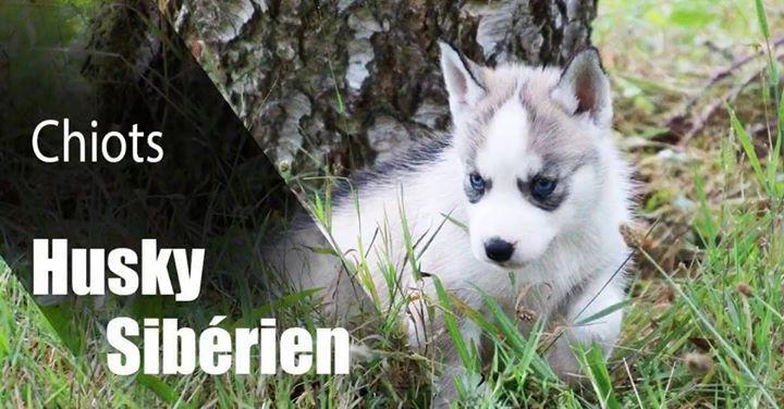 📱💻 ** Strategy2Web CAMPAGNE FACEBOOK ** 🎞🌍  Boostez votre activité sur Facebook ! Nous créons vos visuels, concevons et analysons vos campagnes !  L'élevage des Guerriers Chippewa's 👉 passion et professionnalisme autour du chien nordique ! 🐾Chiots Husky Sibérien et Samoyède LOF 💓 Disponibles et à réserver ! http://guerriers-chippewas.chiens-de-france.com/  Communication by Strategy2Web. www.strategytoweb-s2w.com  #communitymanagement #socialnetwork #facebookads #marketingdigital…
