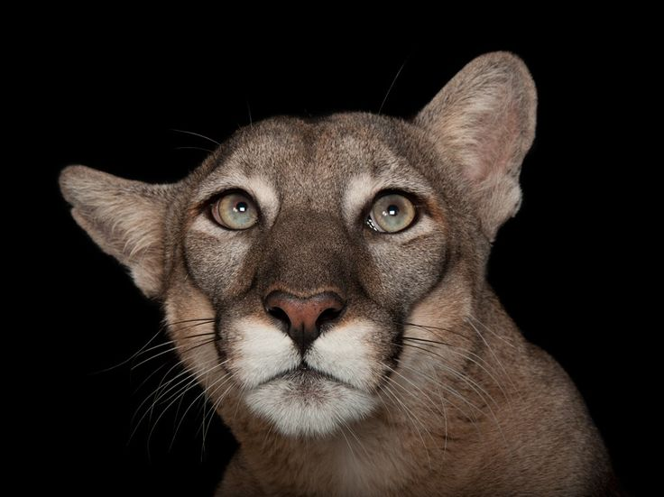 See a picture of a panther photographed in studio at Florida's Lowry Park Zoo, by Joel Sartore from National Geographic.