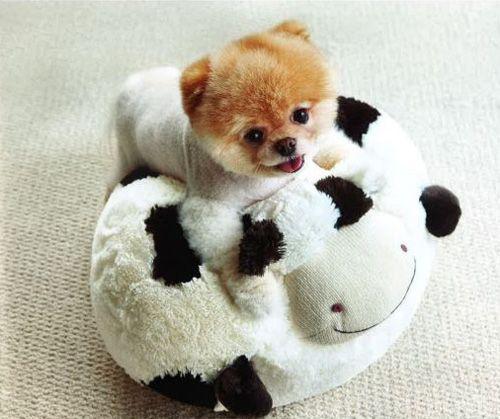 Beautiful Boo Army Adorable Dog - 7d4131f6f62478c2bf77f06fa2ca4745--boo-the-cutest-dog-world-cutest-dog  2018_611568  .jpg