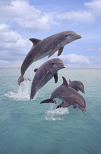 Família de golfinhos em Honduras. O golfinho-nariz-de-garrafa possui o corpo robusto, a cabeça robusta e o bico curto, largo e nitidamente distinto da cabeça. A sua barbatana dorsal é alta e falcada. Nascidos para deslizar os golfinhos-nariz-de-garrafa possuem corpos hidrodinâmicos, em forma de torpedo, que lhes permitem deslizar rapidamente através das águas do oceano.   Fotografia: Gail Melville Shumway.
