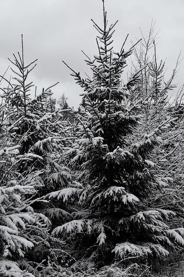 Snowy Spruce Trees by Jenny Rainbow