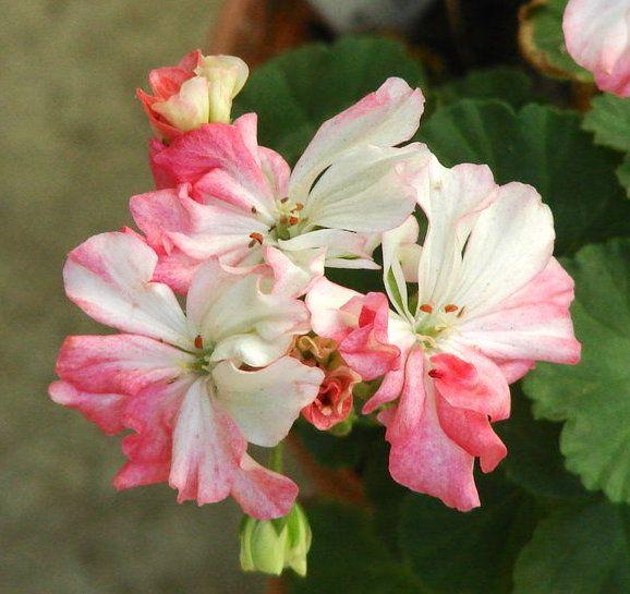 Dwarf Zonal Geranium 'Small Fortune' (Pelargonium x hortorum)