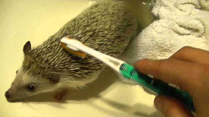In this video I describe and demonstrate how to clean an African Pygmy Hedgehog. You will need: a hedgehog, two towels(one wet, one dry), a toothbrush(soft b...