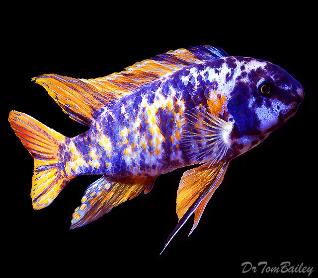 A large male Marmalade Cat Fuelleborni, which is a rare fish that was raised on a famous fish farm. To see more click on ... www.AquariumFish.net/catalog_pages/big_fish.htm#big
