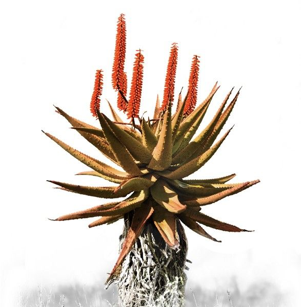 'Aloe 1 - Colour' Canvas Print 550mm x 830mm Normal Price: R1250 SALE PRICE: R1000 Order online - Delivery is FREE to anywhere in South Africa!