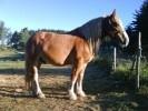 Historiquement, le cheval flamand a été un important améliorateur de races, massivement exporté aux États-Unis sous le nom de Belgian, et à l'origine de tr