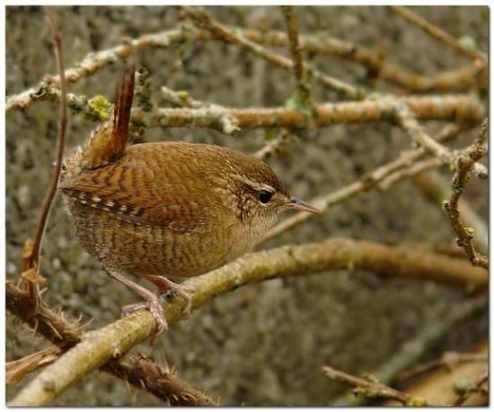 Troglodyte mignon naturepassion oiseaux de nos jardins for Oiseaux de nos jardins en belgique
