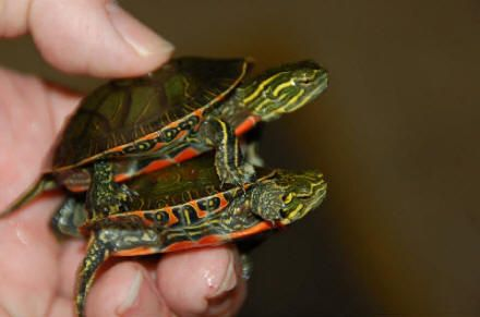 Turtles As Pets | How to care for your new western turtle, Chrysemys picta bellii, with ...