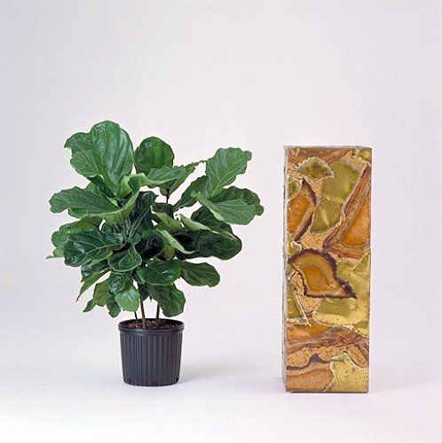 "Hirt's Fiddleleaf Fig Tree - Ficus - Great Indoor Tree - Easy - 6"" Pot Hirt's Gardens http://www.amazon.com/dp/B00FTFL8ES/ref=cm_sw_r_pi_dp_u6ztvb11FNJEQ"