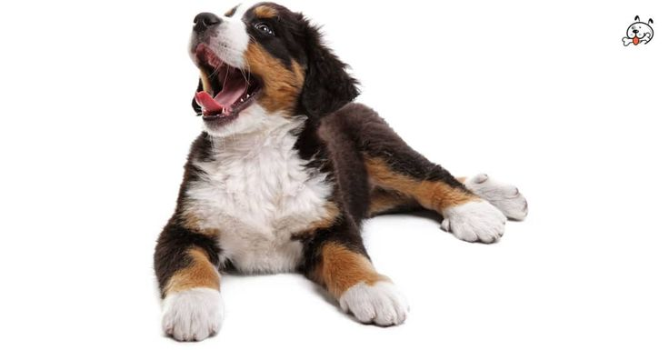 Did you know theese details about our  #Bernese_Mountain_Dog puppies? Click the Link or the image now and learn everything about them ;) http://puppies4all.com/bernese-mountain-dog-puppies-for-sale/ #dog #doglover #puppy #p4a#puppies #dogs #adorable #lovely #funny #loyal #breeds;