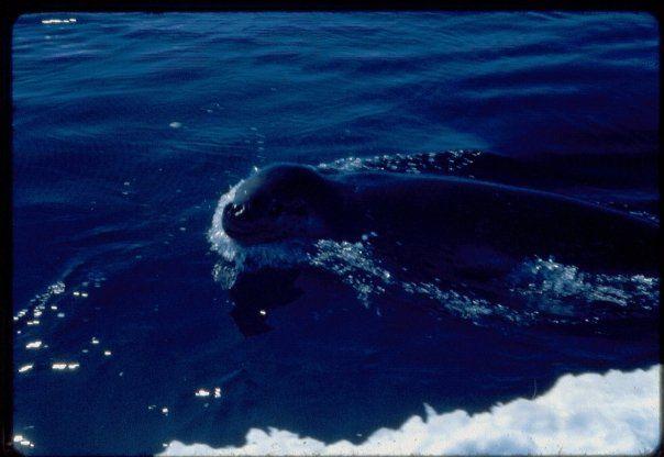 Un léopard des mers, ça croque les manchots empereurs en une bouchée.