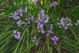 Iris unguicularis - long strappy leaves with flowers hidden within. It is a vigorous evergreen rhizomatous perennial to 30cm in height, with copious dark green leaves and very fragrant, deep violet flowers 5-8cm in width, the falls marked with white and deep yellow at the base, in late winter