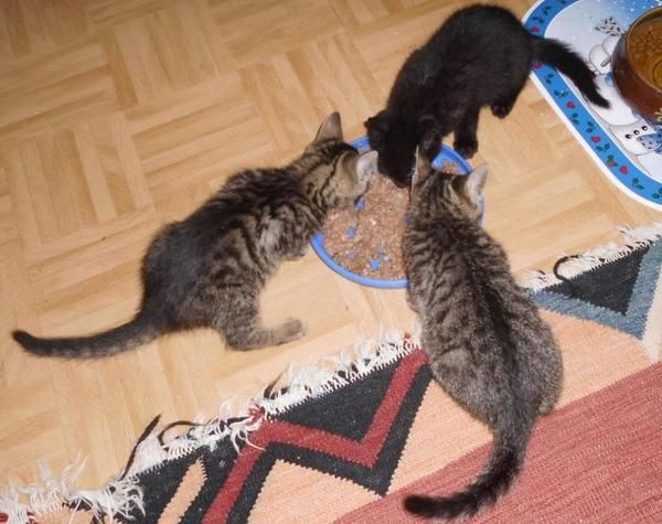 ber ideen zu katzenkinder auf pinterest schwarze katzen k tzchen und katzen. Black Bedroom Furniture Sets. Home Design Ideas