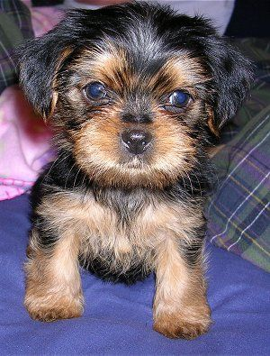 This little puppie is a Shorkie, Which is a mix between a Shih Tzu and a Yorkie