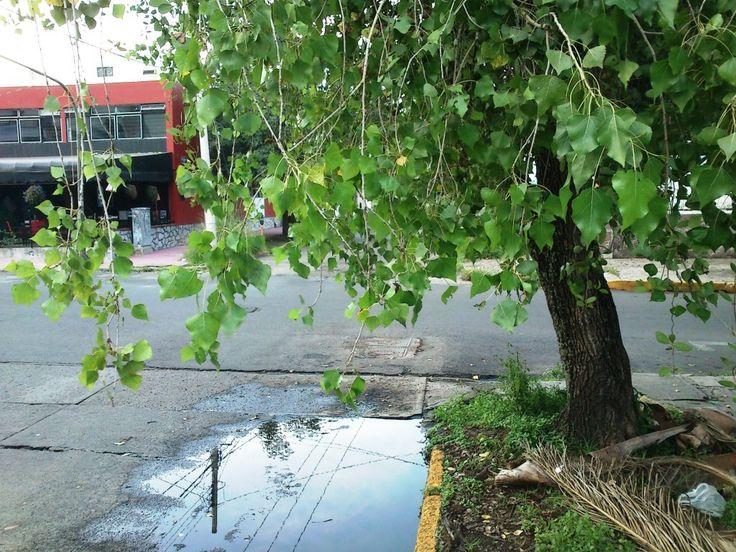 Arbol de Alamo del Rio Yaqui o Alamillo (Populus mexicana dymorpha Deltoides)