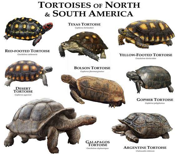Fine Art Illustration Of All Species Of Tortoise Testudinidae