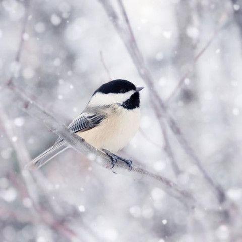 Chickadee in Snow No. 9 - fine art bird photography print by Allison Trentelman | rockytopstudio.com