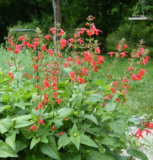 The Lady In Red Sage plant is a hummingbird magnet.