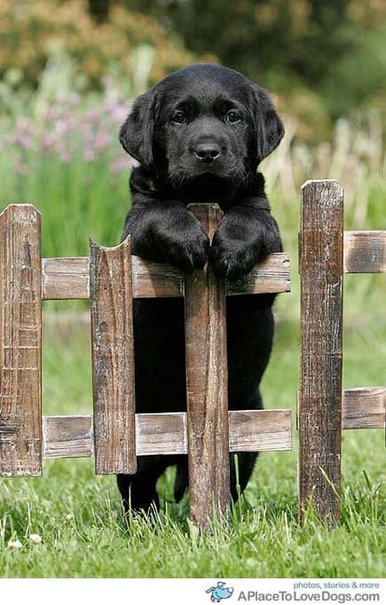 hermoso: Dogs, So Cute, Coming Back, Labpuppi, Pet, Puppy, Black Labs Puppies, Black Labrador Puppies, Animal
