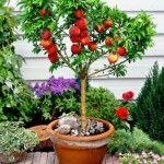 Conoce los árboles frutales enanos y sus peculiaridades