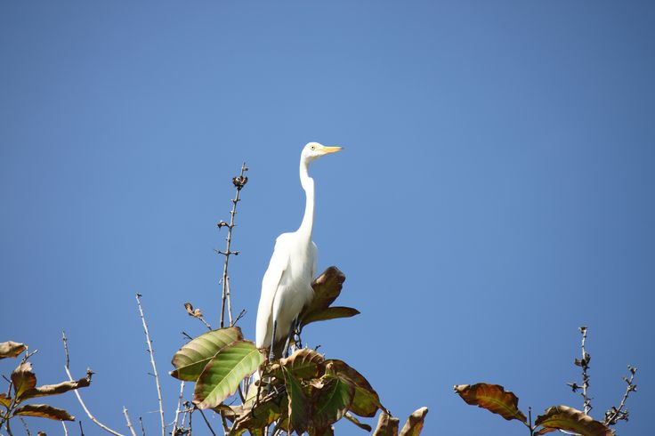 Great Egret (Ardea alba),on the top of the tree . using Canon EOS, 500D, auto mode with zoom lens 55-250mm, ISO-100, shutter sped 1/400 sec, Apeture f/7,1.Taken from below.