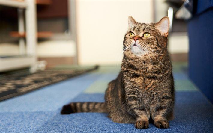 Download wallpapers British shorthair cat, domestic cat, gray cat, portrait