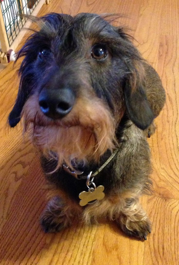 Axel ... My wirehaired dachshund