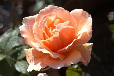 "Zayn as flowers na Twitterze: ""Salmon rose http://t.co/iVtKmWK9zD"""