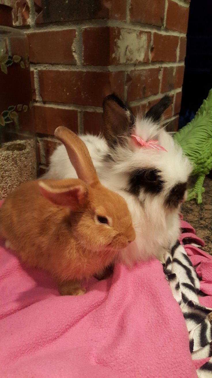 When Harry Met Sally. My female lionhead Sally rescued from Shcuffs Bunny Rescue, Bridge City, Texas & New Zealand Red male