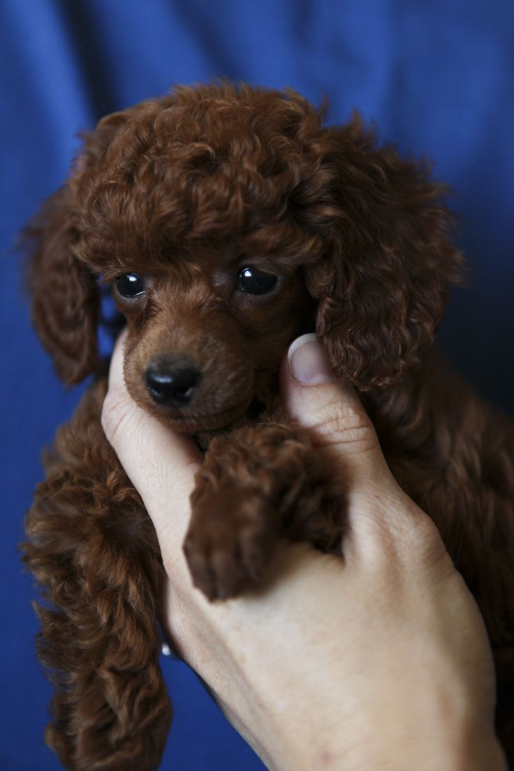 Lola, red toy poodle at seven weeks.  Looks like my Mother's Collette.. she named her Collette as she was a french poodle, and she looked like Chocolate.. :)  I miss that little poodle, and my Mom.. she left this world in 2000