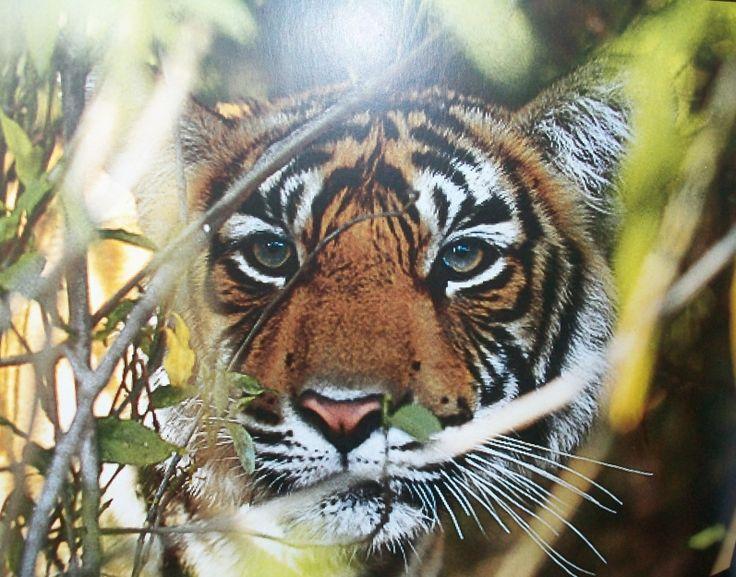 Бенгальский тигр - Мое Настроение - социальная сеть для тех кому хорошо