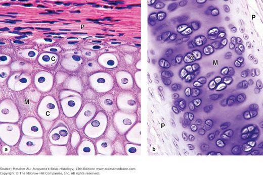 Fibrocartilage Vs Hyaline Cartilage
