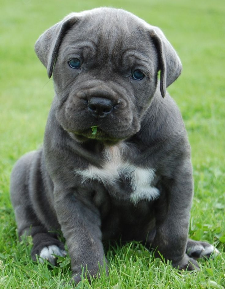 The Cane Corso is a large Italian Molosser. It is well muscled and looks more athletic than most other mastiffs, tending less toward sheer bulk like the Neapolitan Mastiff and more towards definition like the original Old English Bulldog.