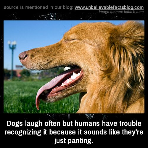 Dogs laugh often but humans have trouble recognizing it because it sounds like they're just panting.