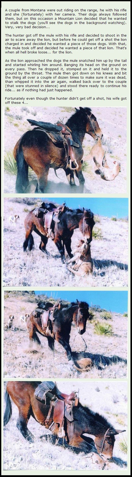 Badass mule. Living in the country, you learn to rely and trust your animals just as much as or more than other people.