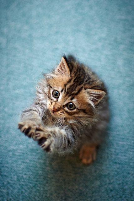 adorable little maine coon kitten